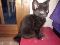 Pug Kitten - Curly Tail / Tortoiseshell & Black Female