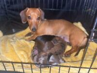 Miniature dachshunds puppies