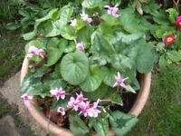 Large Pots Of The Hardy Garden Plant Cyclamen (pink)