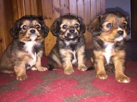 3 ALL SOLD 3 beautiful Miniature King Charles x chihuahua pup