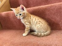 Ginger boy bengal cross kitten