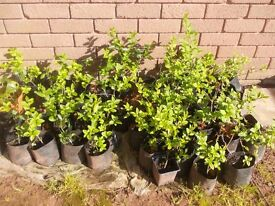 30 x Young Privet Hedge Plants & 55 x Young Beech Trees ( Various Sizes ) Job Lot