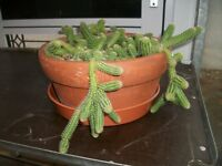 Large Cacti Plant very healthy