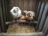Large fowl chicken for sale
