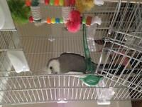 White Faced cockatiel for sale