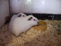 2 Young Guinea pigs boys