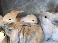 Beautiful puffy, fluffy and lopped ear, home tamed baby rabbits