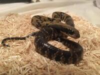 Snake - False Water Cobra