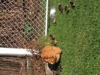 Heritage chickens for sale
