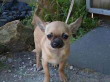 Chihuahua Smooth Coat pedigree Skye Frankston Area Preview