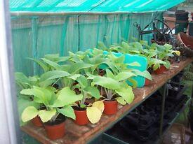 Foxglove plants