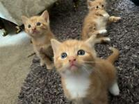 Ginger fluffy kittens! (All kittens now reserved!!!!)