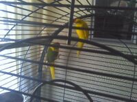 kakarikis male and female and parrot cage 135 pound no offers not hand tame
