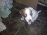 last puppie miniature Jack russel