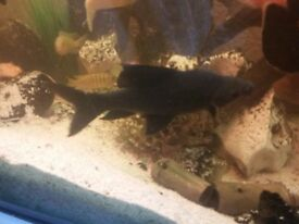 Black Shark for sale