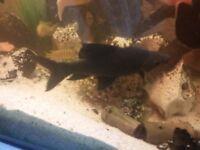 Black Shark for sale