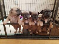 French bulldog KC pups