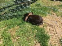 Girl lop eared bunny £20