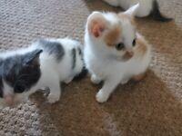 Quick sale 2 British short hair Persian cross kittens