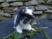 Handsome blue butterfly mini lop Buck for sale