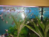 SPECIAL OFFER ANGELFISH (babies)50p each