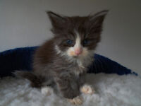 Maine Coon X kittens for sale - 1 left