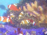 tank bred perculas/clarkii/tomato clownfish ONLY FEW EACH LEFT