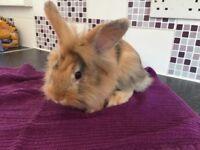 Mini Lion Lop bunnies for sale