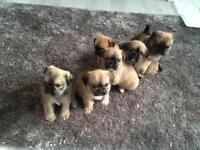 Pug x shihtzu puppies