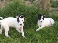 2 Border collie Dog puppies