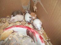 6 baby male fancy mice