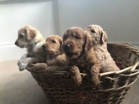 F1b Goldendoodle Puppies Excellent Quality