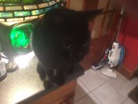 BLACK / GREY 2 YEAR OLD TOM CAT LOVELY BOY BUT NEEDS TO BE REHOMED