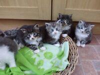 Pure bred Norwegian Forest Cat kittens