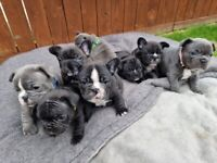 Last 3 remaining, price reduced - French Bulldog puppies ready now - KC Registered