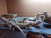 5 Beautiful Baby Bearded Dragons