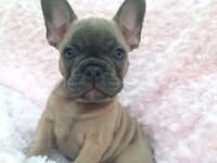 NOW READY. Top quality blue French bulldog girls.