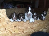 Springer spaniel pups kc reg