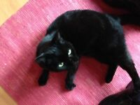 Black Cat Missing in Clapton- Reward available