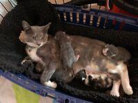 BSH x Kittens