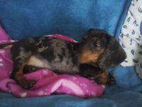 Harlequin dachshunds