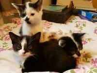 Black + White Kittens for Sale
