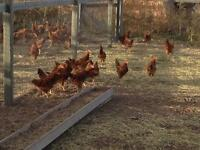 Red Laying Hens