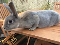 Pedigree Mini Rex Rabbits for Sale