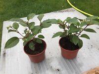 Fuschia Plants 10 for sale