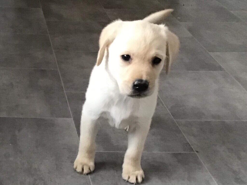 Yellow Labrador puppies for sale | in Llanelli, Carmarthenshire | Gumtree