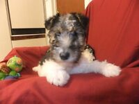 Wire haired fox terrier pups for sale