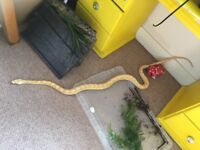 Missing Reticulated Python Snake