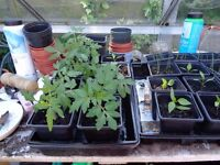 tomato plants /cayenne peppers/strawberry/leeks