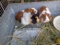 Baby Guinea Pigs 3 sows, 3 boars